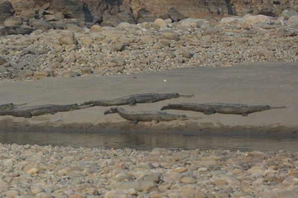 gharials2