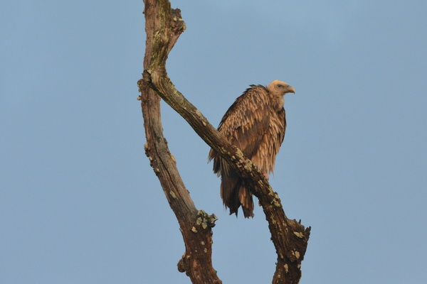 Corbett vulture