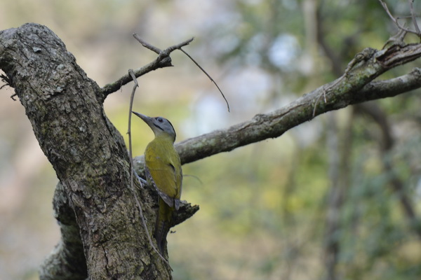 Corbett woodpecker
