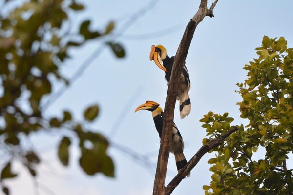 Giant Hornbills